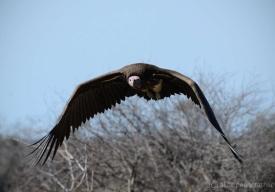 Kruger-Vulture-Kruger-Day2